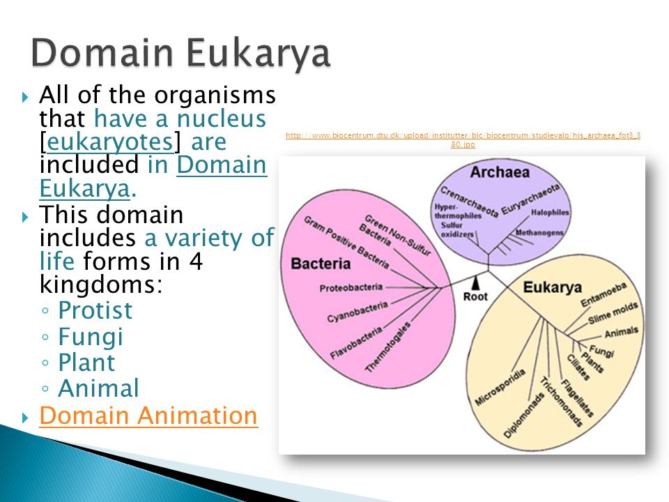 Domain Eukarya All of the organisms that have a nucleus [eukaryotes] are included in Domain Eukarya.